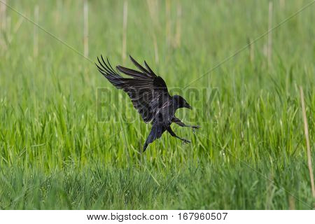 Carrion Crow landing (Corvus corone) in green grassland