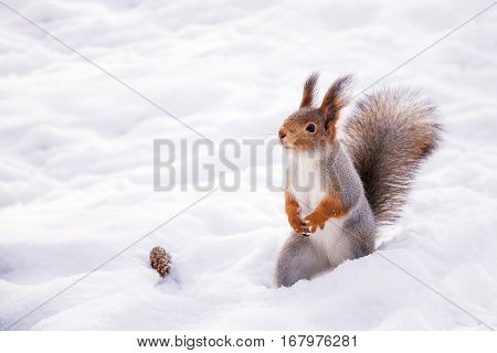 Hokkaido Squirrel in Winter mountain.Subspecies of Red Squirrel native to Hokkaido, Japan.
