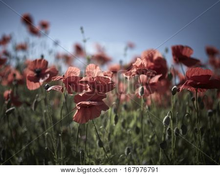 Field of red poppies. Vintage style