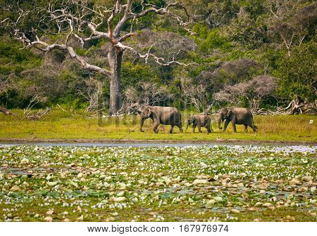 Elephants family in wild nature. Yala National Park. Sri Lanka
