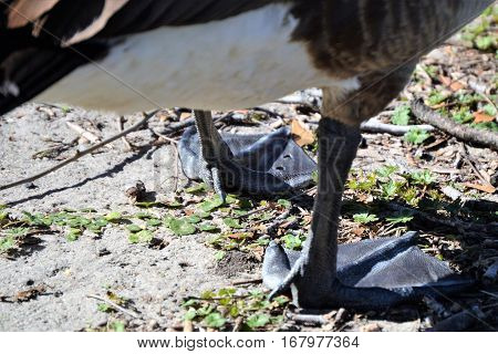 Up close two webbed feet Canada goose
