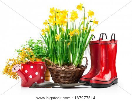 Spring flowers narcissus in basket with branch mimosa red boots and gardening tools for garden work. Isolated on white background