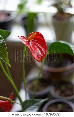 Red anthurium flower for Valentine's day - nice home plant.