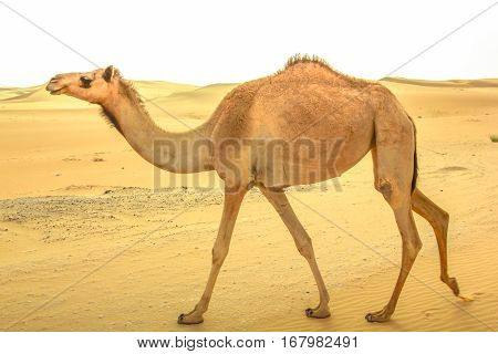 A lonely young wild dromedary, Camelus dromedarius, also called Arabian camel, walkin on the sand desert in Dubai, United Arab Emirates. Middle East travel concept. Copy space.