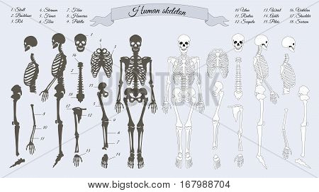 Human skeleton. White and black. Names of peple's bones. Skull, backbone, rib, stornum, femur, tibia, fibia, humerus, patella ulna radius scapula wrist ankle shoulder sacrum vertebra Vector