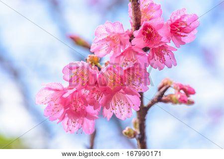Wild Himalayan Cherry Blossom (sakura)