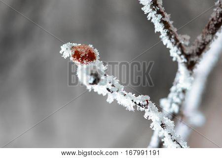 Frozen Rosehip Covered With Snow