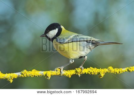 Great tit (Parus major) standing on a sprig covered of yellow lichens