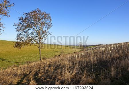 Ash Trees And Saplings