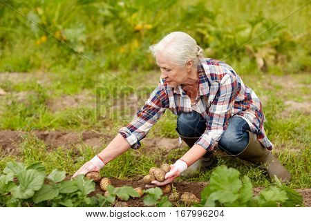 farming, gardening, agriculture and people concept - senior woman planting potatoes at garden or farm
