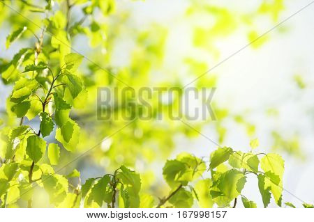 Natural bright background. Spring bright background with young leaves of aspen in the sunlight.