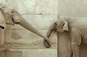 elephant and his calf, touching each other poster