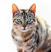 Tabby cat naturally isolated on sunny white background poster