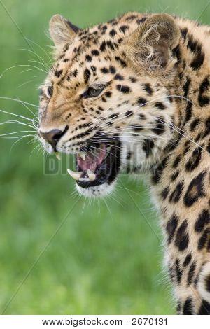 Leopard Looking Over Shoulder