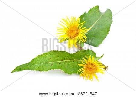 Herbal medicine: Elecampane (Inula helenium)