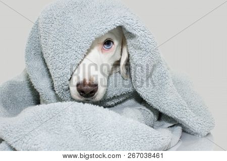Cute  Dog With Blue Eyes  Wrap With A Colored Towel Waiting For A Bath. Isolated Againts Gray Backgr