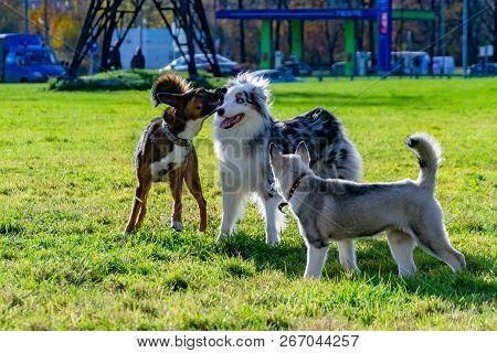 Puppy Miniature Husky. Australian Shepherd Aussie. Dogs Play With Each Other, Merry Fuss, Harmonious
