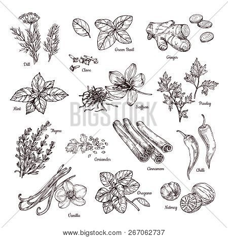 Spices And Herbs. Hand Drawn Ginger And Chilli Pepper, Saffron And Vanilla. Sketch Spices Vector Col