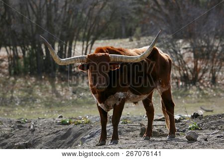 Texas Longhorn Enjoys A Sunny Day In Durango, Co