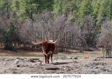 Texas Longhorn Enjoys A Sunny Day In Durango, Co