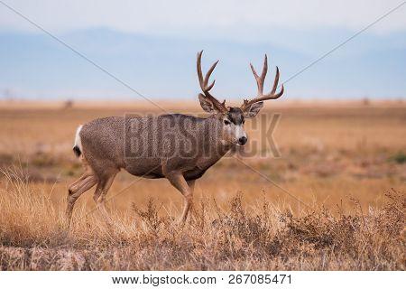 Wild Deer In The Colorado Great Outdoors - Mule Deer Buck In An Open Field