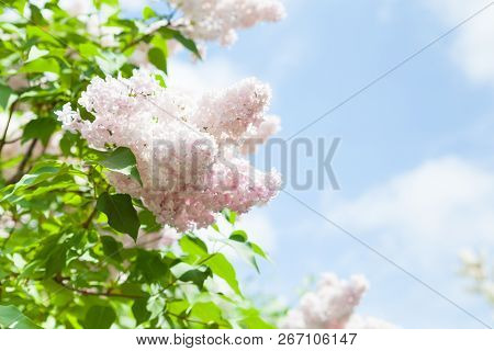 Spring Bright Horizontal Background With Blooming White Rose Lilac Flowers And Fresh Green Leaves An