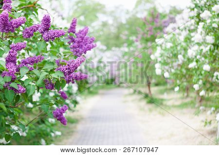 Spring Bright Horizontal Background With Blooming Garden Of White And Violet Lilac Shrubs With Fresh