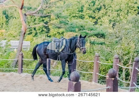 Adult male horse in full tack walking next to rope fence in sandy riding enclosure in public park. poster