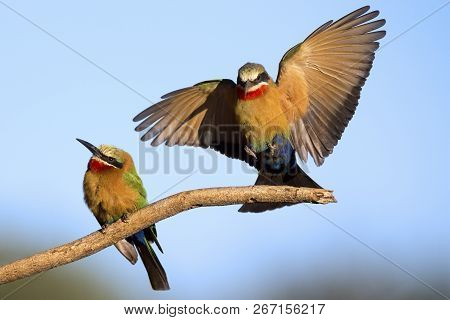 Two White Fronted Bee Eaters On A Branch With A Blue Sky In The Background