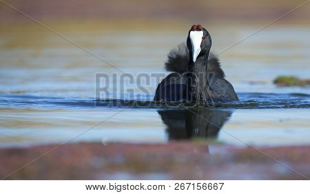 Lone Red Knobbed Coot Swimming On A Pond With A Perfect Reflection