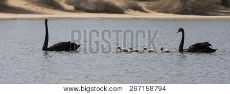 Pair Of Black Swans And Their Babies Swimming On An Oasis In The Desert