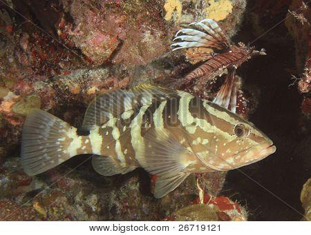 Nassau Grouper and Lionfish