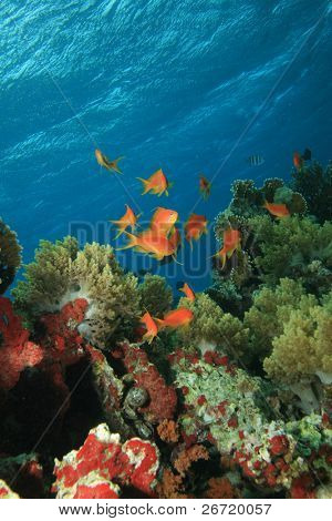 Jewell Fairy Basslets in a coral reef