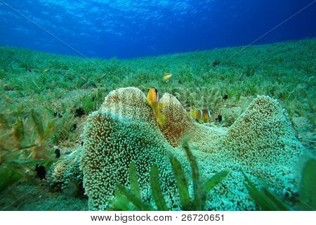 Haddon's Anemone and Anemonefish