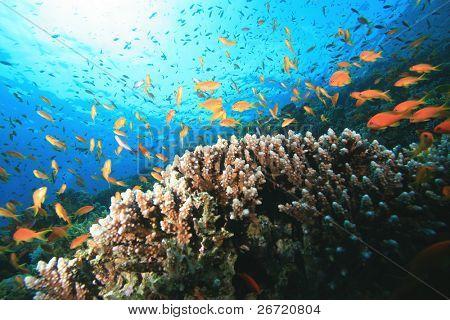 Lyretail Anthias and Acropora Coral