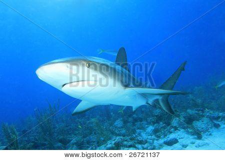 Caribbean Reef Shark (Carcharhinus perezii)