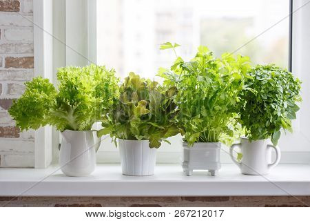 Fresh Aromatic Culinary Herbs In White Pots On Windowsill. Lettuce, Leaf Celery And Small Leaved Bas