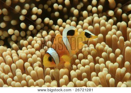 Juvenile Twobar Anemonefish in Haddon's Anemone