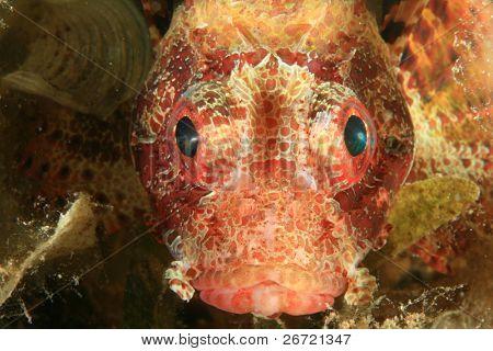 Shortfin Dwarf Lionfish (Dendrochirus brachypterus)