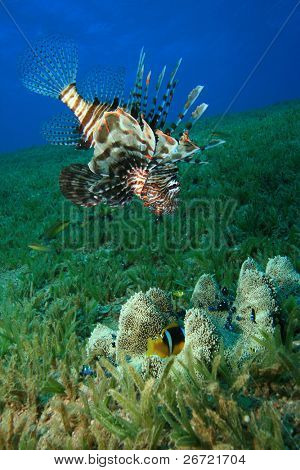 Lionfish stalks an Anemonefish which seeks protection in a Haddon's Anemone