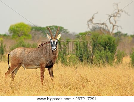 Roan Antelope - Hippotragus Equinus - Standing Looking Diretly Into Camera, With A Natural Bushveld