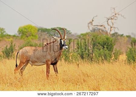 Close Up Of A Large Adult Male Roan Antelope - Hippotragus Equinus - Standing Looking While On The D