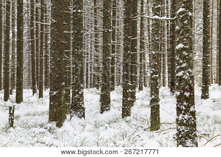 Winter Coniferous Dense Forest In The Snow. Tree Trunks Covered With Snow. Winter In Slovakia