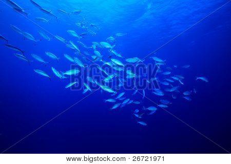 Fusilier fish shoal