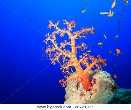 Nephtheidae Soft Coral poster