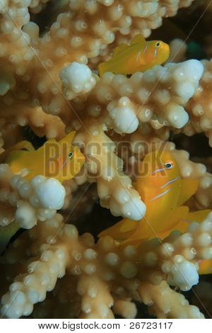 Citron Coral Gobies (Gobiodon citrinus) in acropora coral