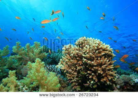 Acropora Coral on a Reef in the Red Sea