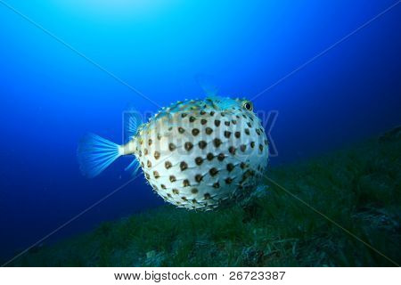 Yellowspotted Burrfish puffed up to defend itself. There was a large grouper nearby which had probably caused it to do this