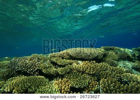 Acropora Corals on a shallow reef poster