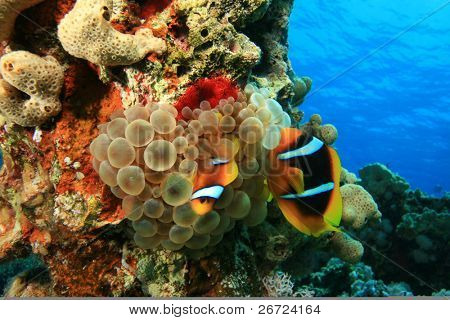 Adult and juvenile Red Sea Anemonefish in Bubble Anemone